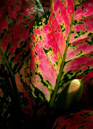 Close-up to detail vivid red and green color on leaf surface of Aglaonema beautiful tropical ornamental houseplant