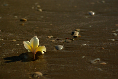 Frangipani flowers fall on the sandy beach with rocks and shells Stock Photo