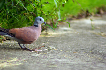 Red Collared Dove walked out of the meadow along the concrete road. To find and pick some dried grass of debris to build a nest