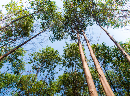 A Low Vantage Point to the sunlight sifting through the  leaves of eucalyptus trees , Looking up to the sky