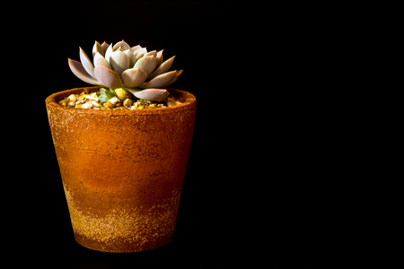 Earthenware pot and freshness leaves of Echeveria Orion in tiny light on black background, high contrast Stock Photo