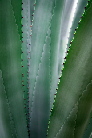 Agave succulent plant freshness texture on leaves surface with thorn of Agave americana Stock Photo