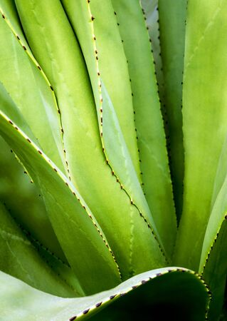 Agave succulent plant, close up white wax on freshness leaves with thorn of Agave leaf