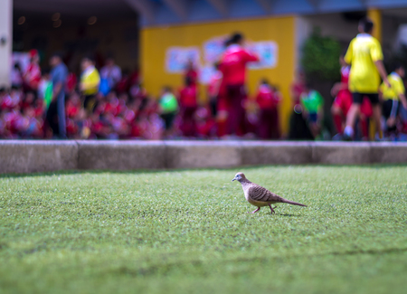 Zebra Dove walks on the lawn of artificial grass