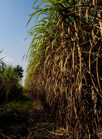 The dry cane leaves and overgrown cane flooded the head during the dirt road of the sugarcane farm Stock Photo