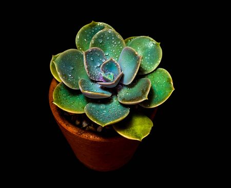 Earthenware pot and freshness leaves of Echeveria perle von nurnberg in high contrast black background