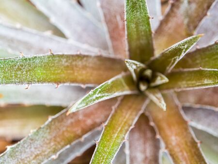 Detail texture and thorns at the edge and leaves of the Bromeliad leaves