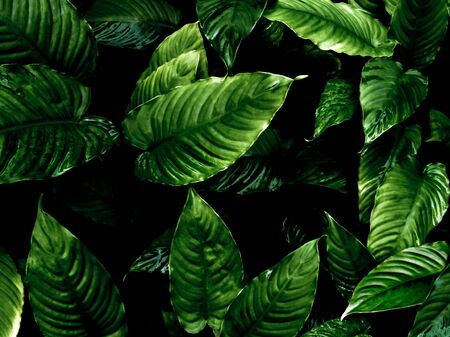 Top view of full frame freshness tropical leaves surface texture in dark tone as rife nature background