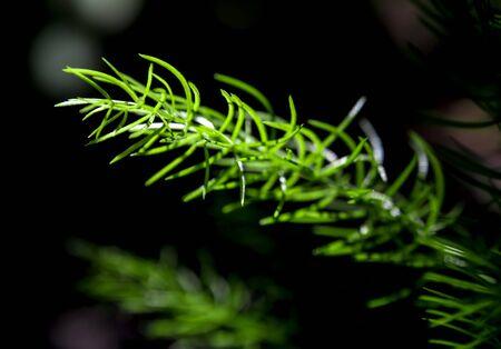Freshness green fine leaves of Asparagus fern on natural background