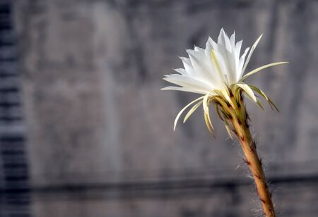 White color delicate petal with fluffy hairy of Echinopsis Cactus flower and the building in the city background Standard-Bild