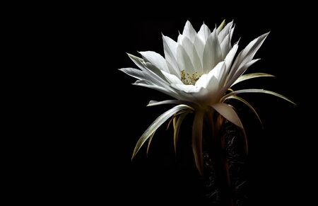 White color delicate petal with fluffy hairy of Echinopsis Cactus flower in hard light on black background