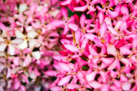 Tight cluster of Pink Ixora flower inflorescences Standard-Bild