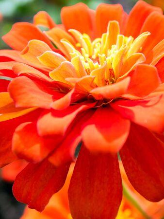Vivid Orange color of Zinnia flower close-up shallow depth of field