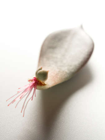 Small roots that grow from the base of the succulent plant leaf