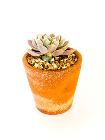 Earthenware pot and freshness leaves of Echeveria Orion on white background
