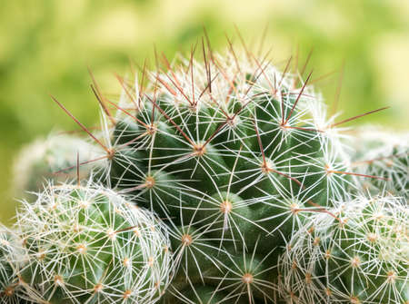 Cactus succulent plant close-up, Mammillaria gracilis cv. oruga blanca 写真素材