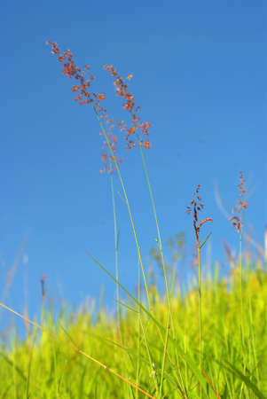 Flower of Natal redtop ruby grass in wind and blue sky