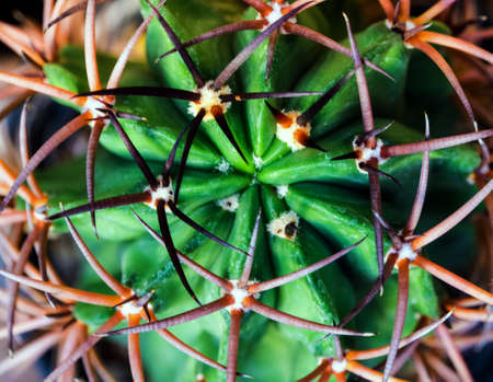 Curved and large thorns of cactus, Succulent plant close up