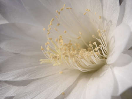 Close-up White color delicate petal of Echinopsis Cactus flower