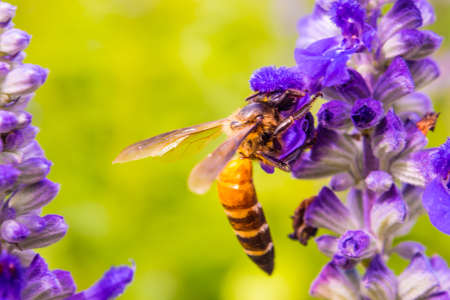 Honey Bee collecting pollen on a flower in the garden, Bee flying, bee on the flower