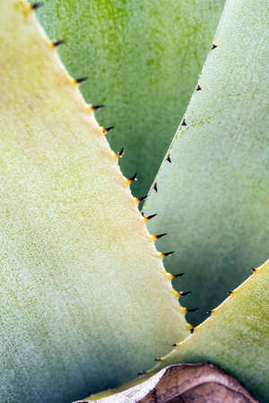 Detail texture and thorns at the edge of the Bromeliad leaves 写真素材