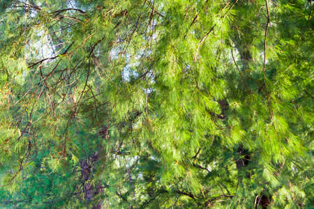 Full frame Bright green color of beach pine leaves