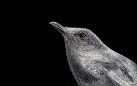Female Oriental magpie robin Painted with white ink and crayon on black paper