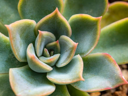 Succulent plant close up white wax on fresh leaves detail of Echeveria plant 写真素材