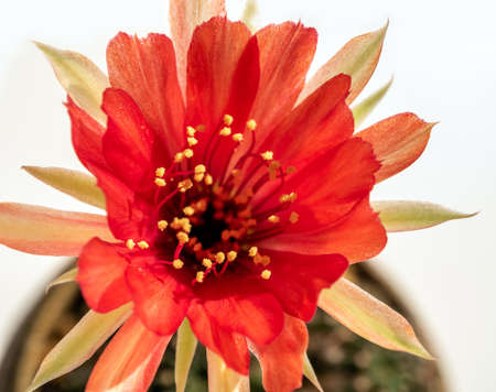 Red color delicate petal with fluffy pollen of Echinopsis Cactus flower on white background 写真素材