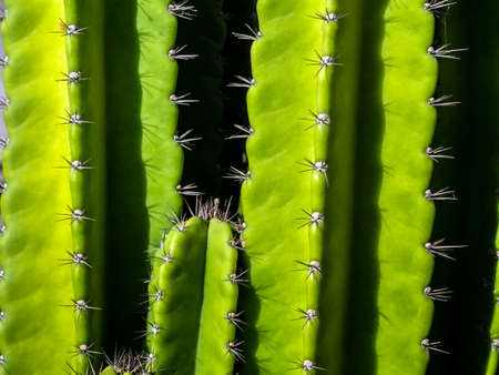 Green background by plump stems and spiky spines of Cereus Peruvianus cactus