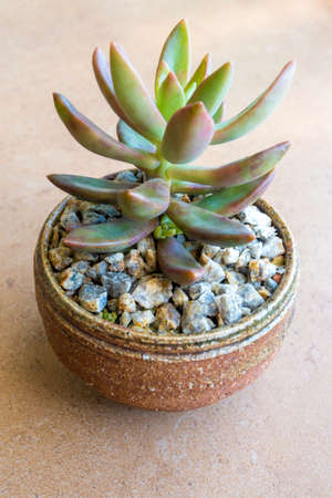 Sedum Jamaican Sunset Succulent plant growing on the laterite gravel in the small ceramic pot