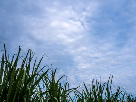 Blade of sugarcane leaves in the farm and the blue sky