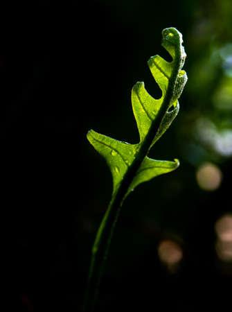 Close-up Freshness green leaves of Oak-Leaf fern on natural background