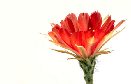 Red color delicate petal with fluffy hairy of Echinopsis Cactus flower on white background