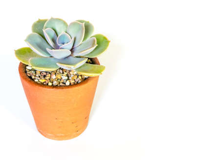 Earthenware pot and freshness leaves of Echeveria plant in white background