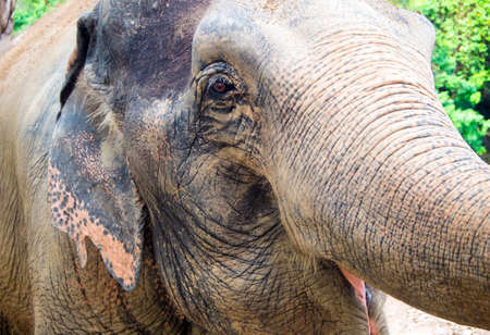A close-up of the Asian elephant, That can see rough and wrinkled skin