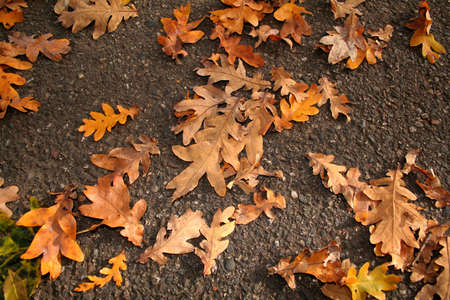 oak leafs on the ground photo