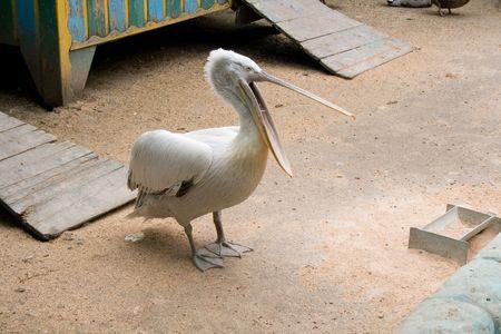 pelikan: pelican in zoo