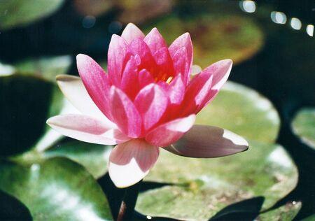 foglie: Ninfea