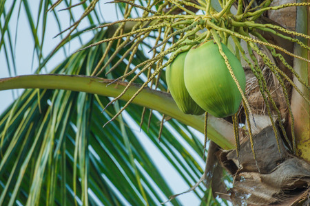 not ready: Coconut is not ready to harvest  Stock Photo