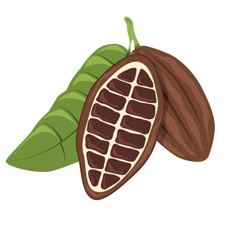 cocoa beans: Cacao bean Illustration