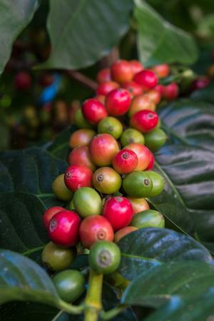 arbol de cafe: los granos de caf� verdes en un �rbol de caf�.