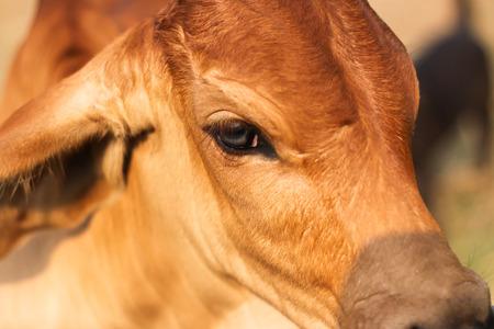 portrait of little calf 版權商用圖片