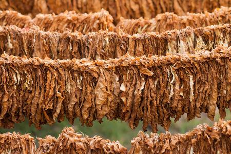 tabaco: El tabaco era un poco seca en el sol