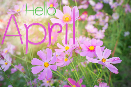 Hello april of cosmos flower field