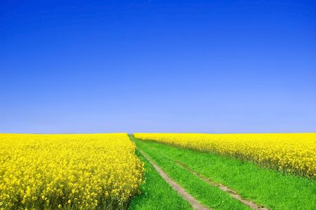 beetwen: Summer landscape. Picture of green road beetwen oilseed rape on field with blue sky.