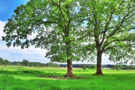 Rural landscape. Green tree in summer. Stock Photo - 7971762
