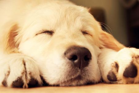 dorado: Lindo cachorro golden retriever de tomar una siesta. Foto de archivo