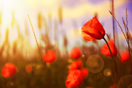 Red flowers on green field  bathed in the light of the red evening sun. Beauty in nature.