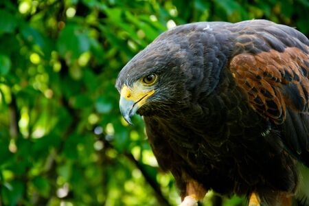 Harris hawk close up portrait. Birds of prey in nature. Standard-Bild